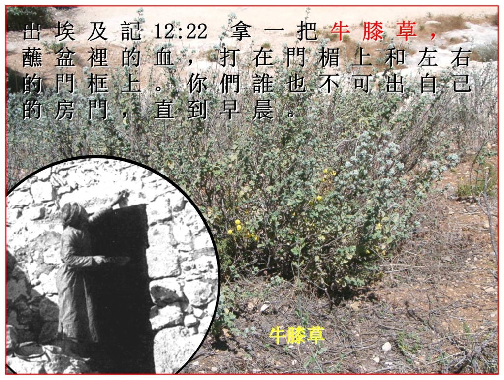 Chinese Language Bible The Passover hyssop is a common weed in Israel