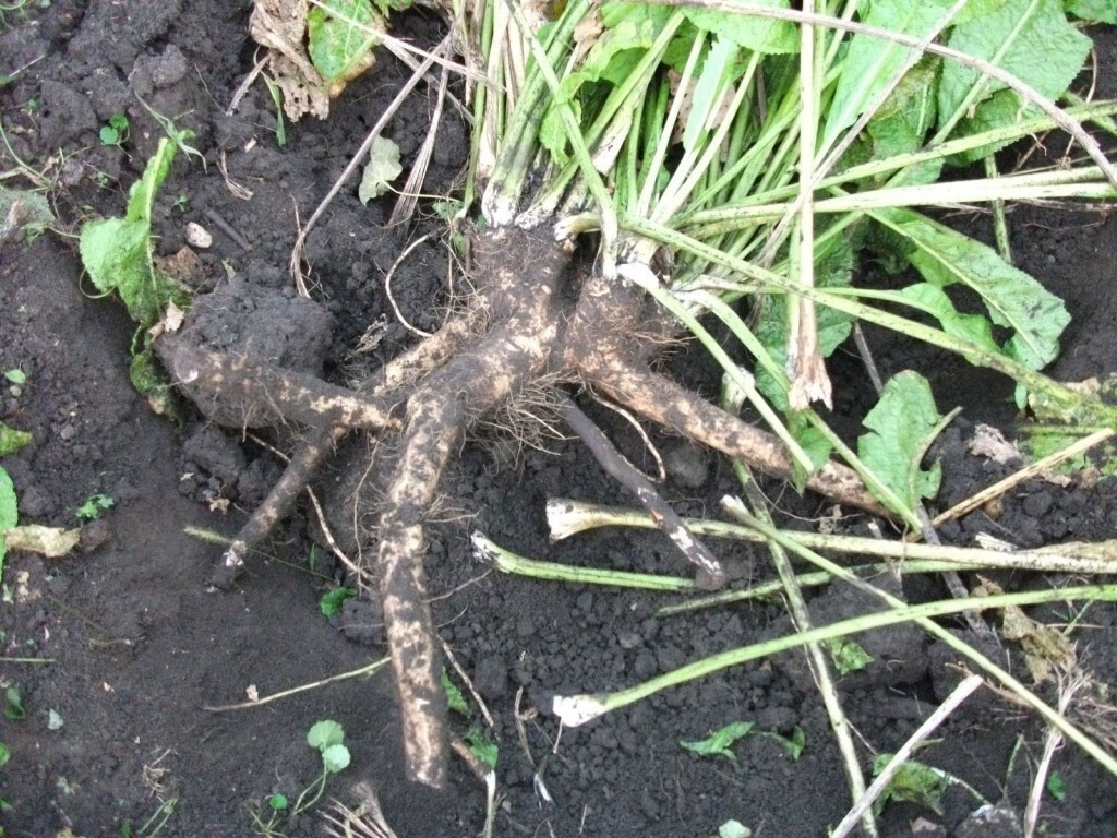 Horseradish was cultivated by the ancient Egyptians prior to 1500 BC