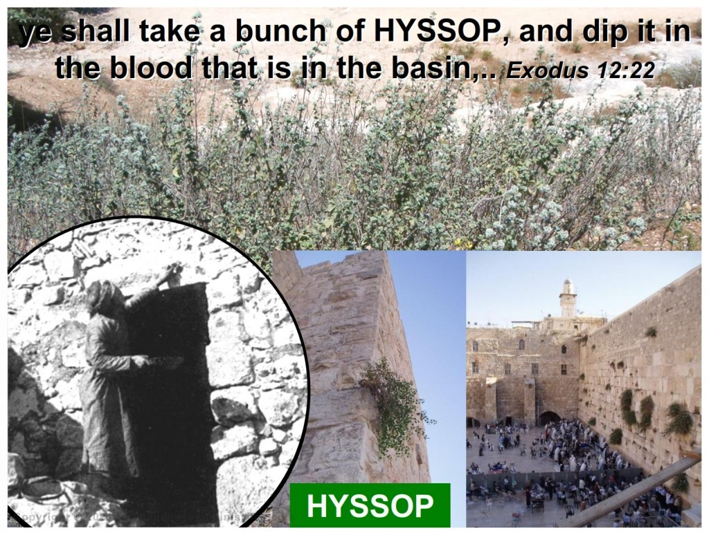 hyssop may be found growing wild throughout Israel