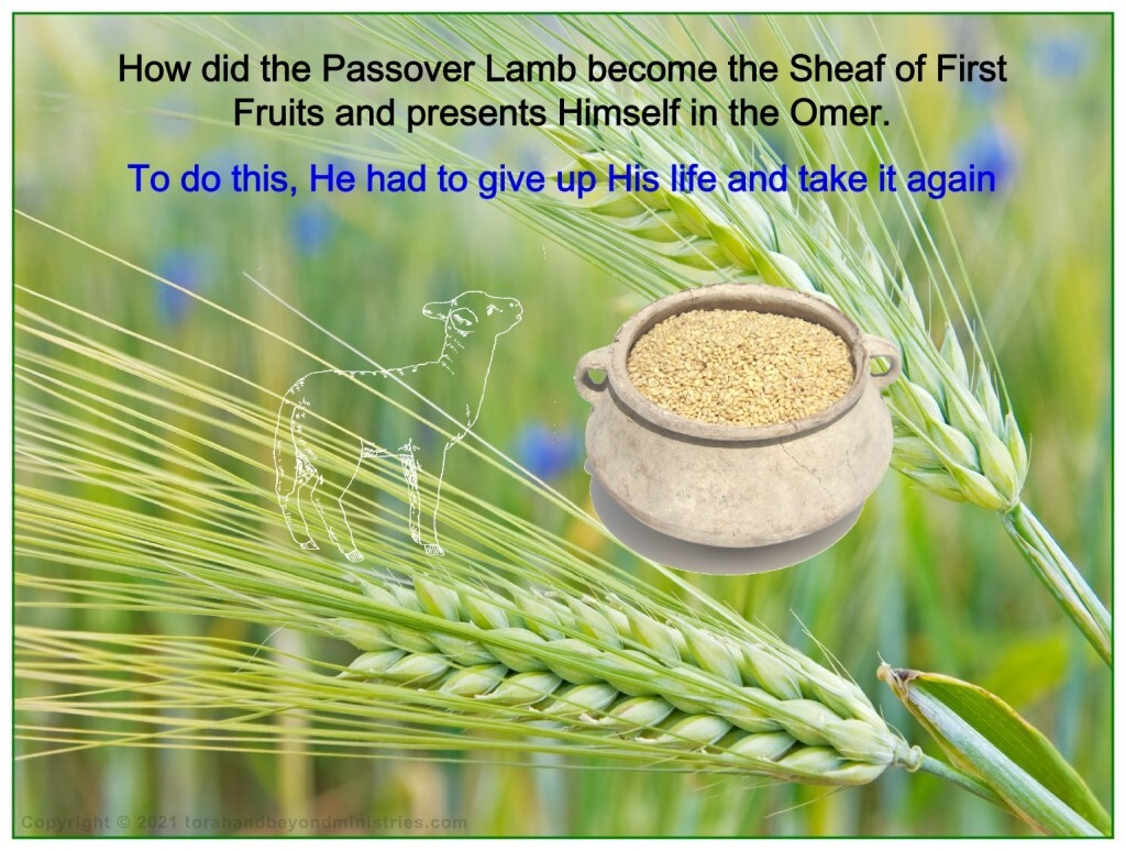 In the fulfillment of this feast, the Passover lamb became the sheaf of the first fruits.